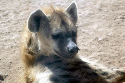 Hyena at BioPark