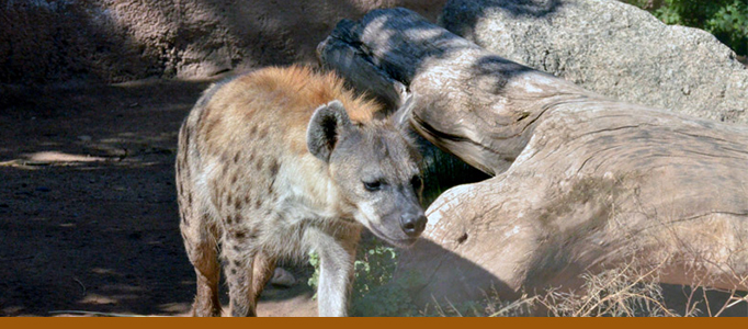 Hyena exhibit banner