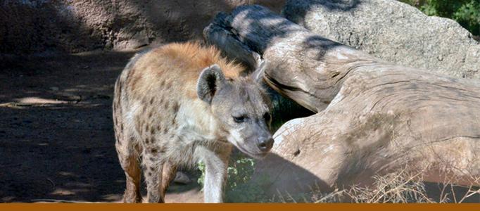 Hyena exhibit banner