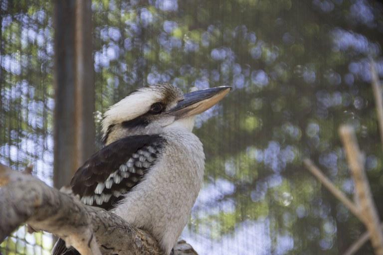 Max the kookaburra