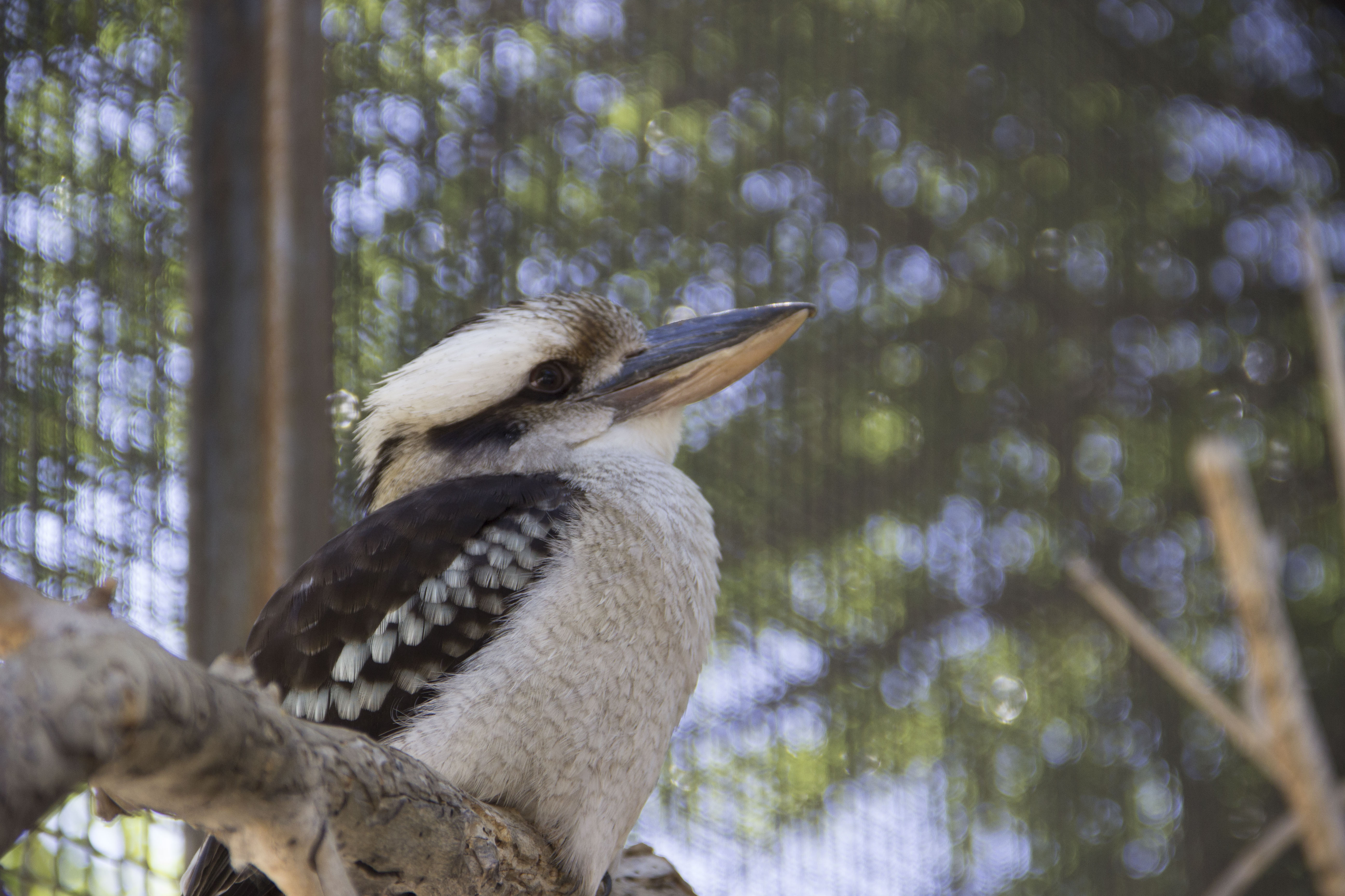 Max the kookaburra