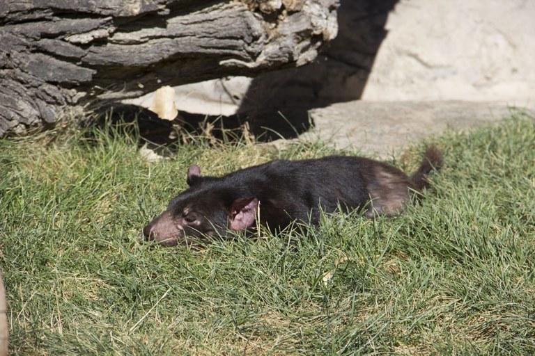 Tasmanian devil sunbathing