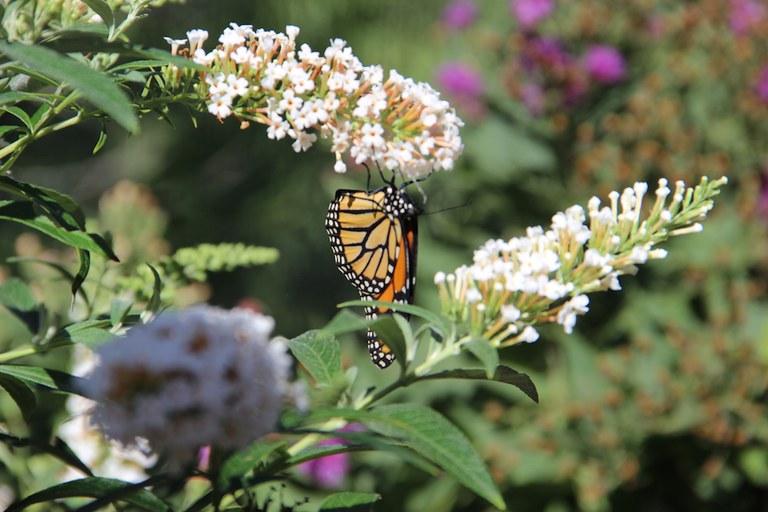 BioPark Botanic Garden Butterfly Monarch