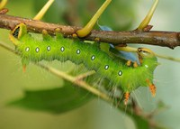 Imperial Moth Caterpillar, Green Phase. Dreamstime stock photo.