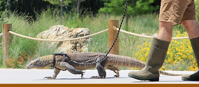 Indah Komodo Dragon Walks Banner