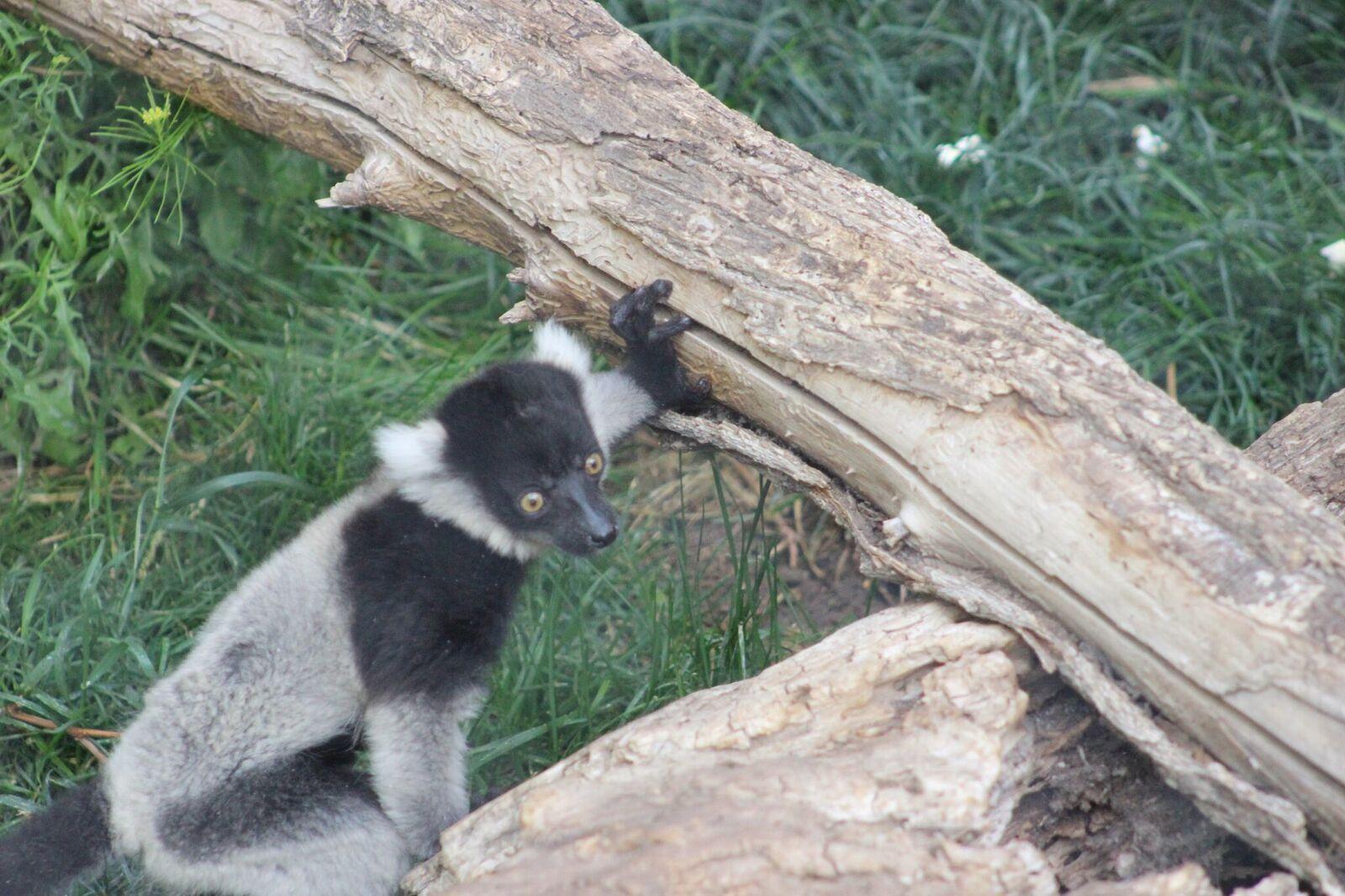 Izy Lemur Web Feature