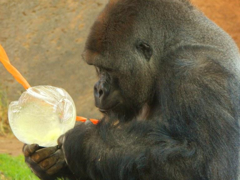 Jack gorilla