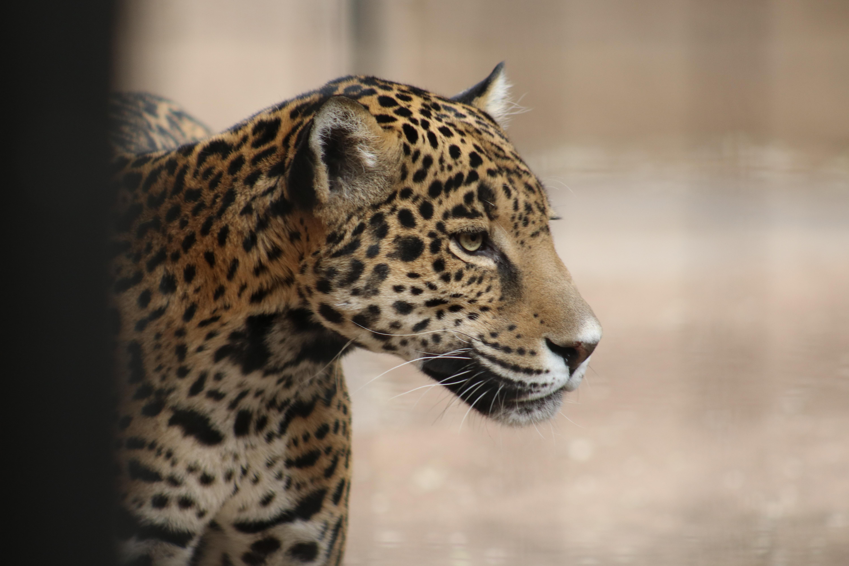 Jaguars 3 BioPark Connect