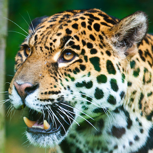 Jaguar Headshot Animal Yearbook