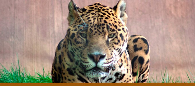 Jaguar banner