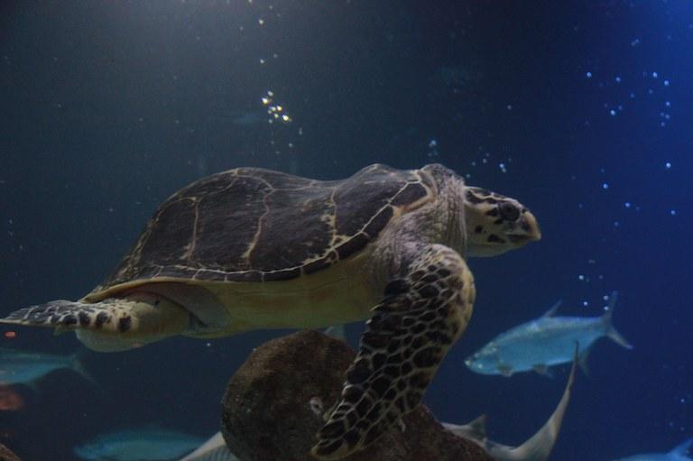 Jimmy the Hawksbill Turtle