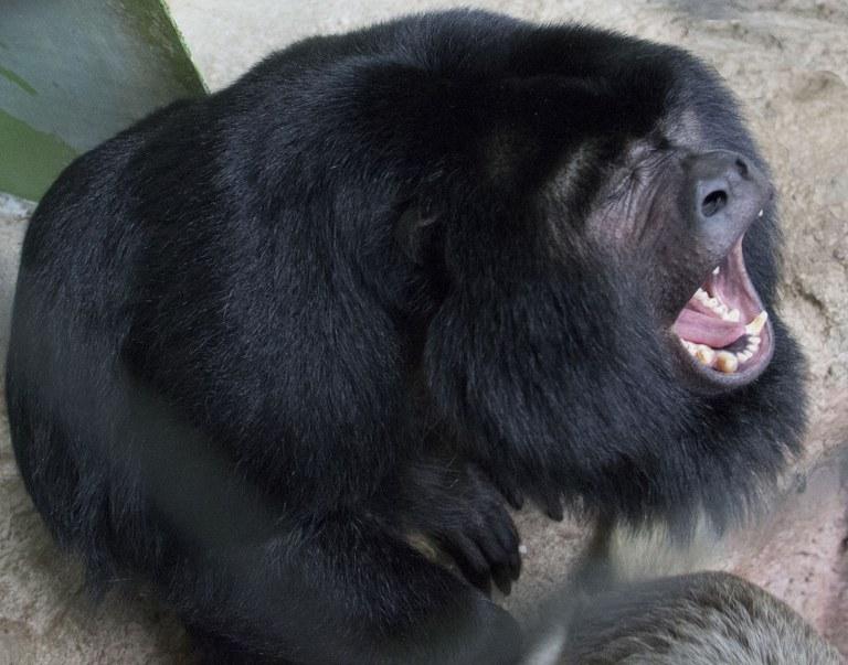 Joe the howler monkey yawning