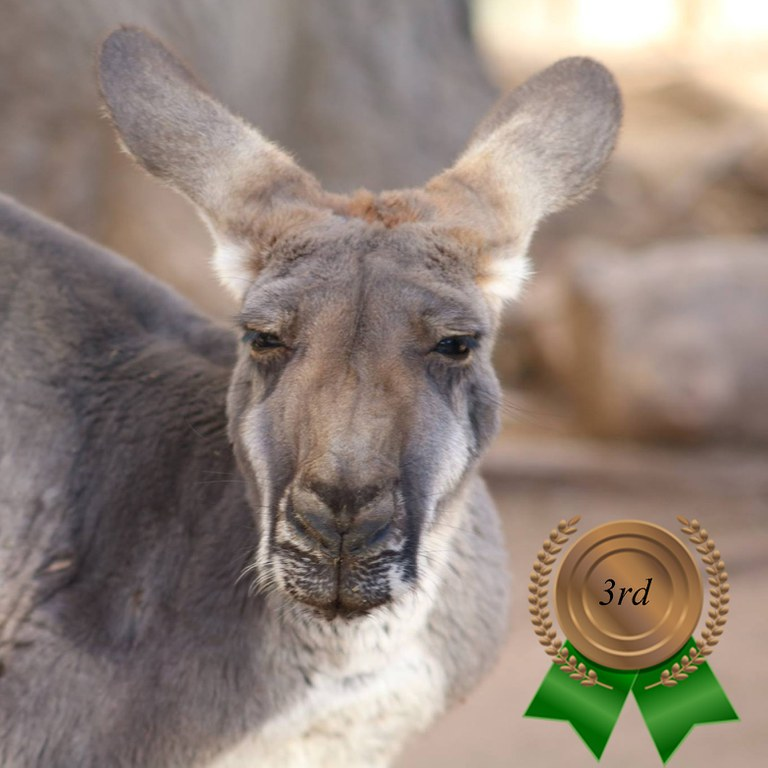 Zoo's Fastest Animal Kangaroo