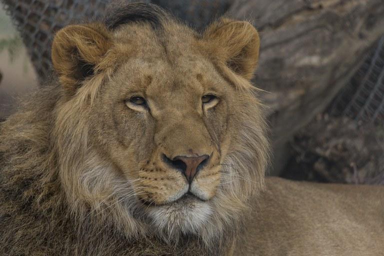 Ken lion