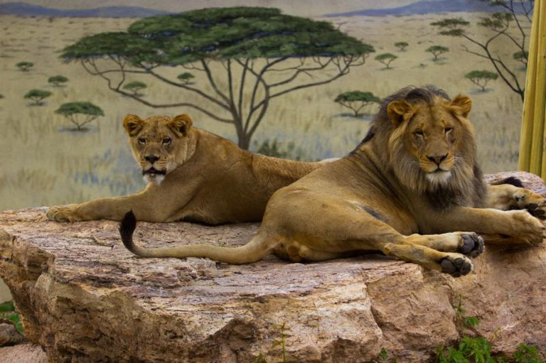 Lions Kenya and Dixie at the ABQ BioPark Zoo. Summer 2016.