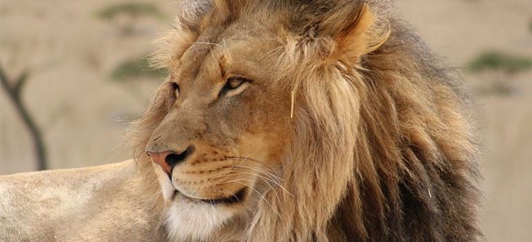 Kenya Lion Closeup