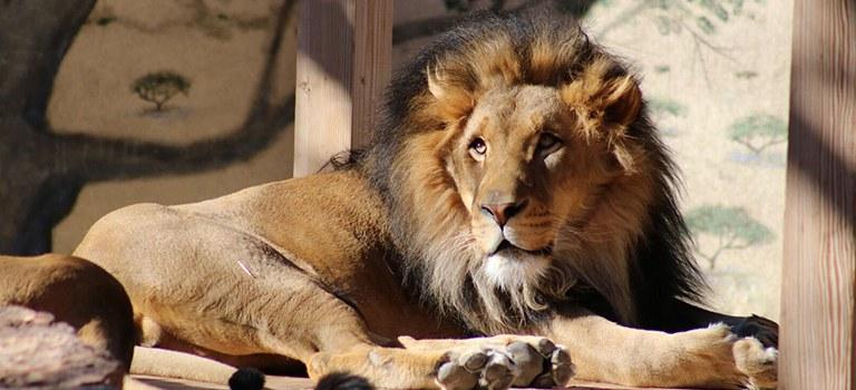 Kenya the Lion's Mane