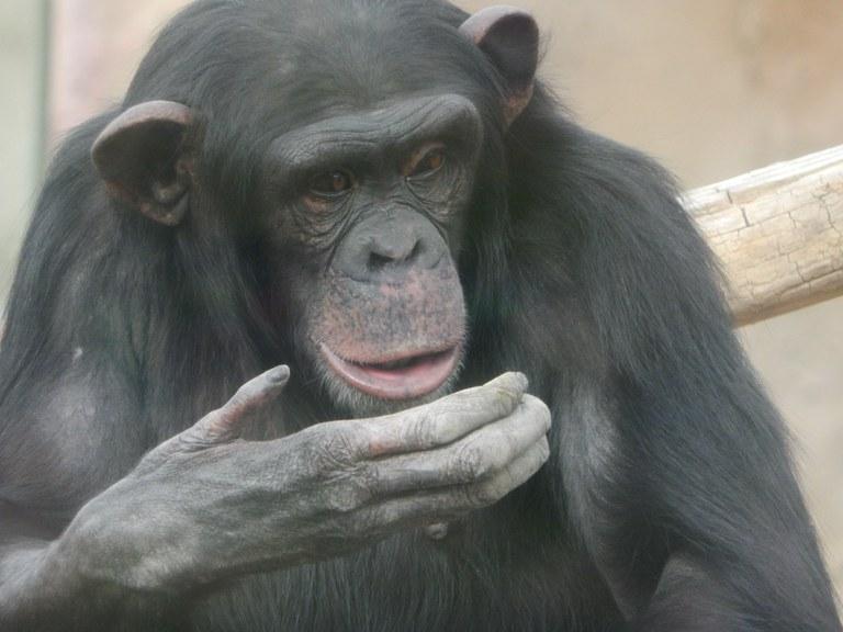 Kianga Chimp