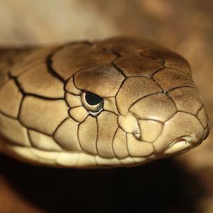 King Cobra Headshot Animal Yearbook