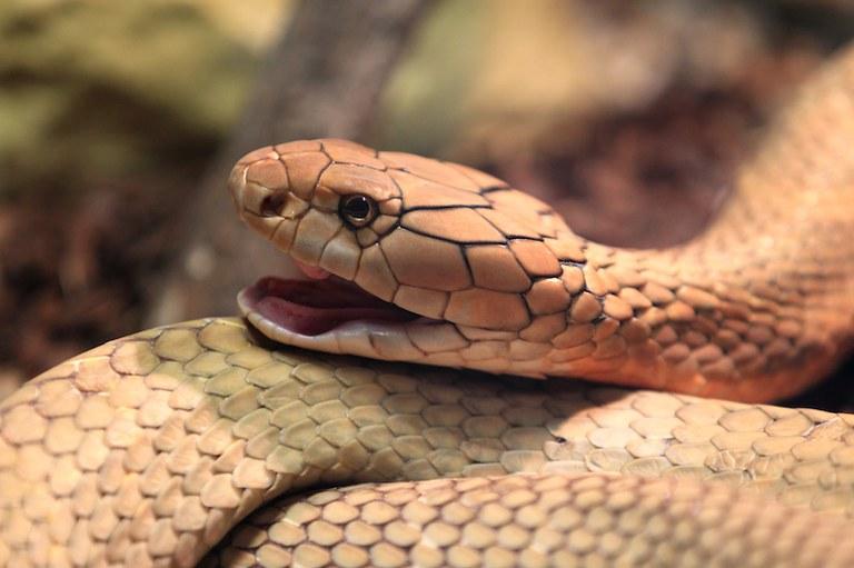King Cobra, Dreamstime photo