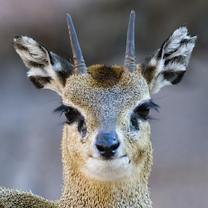 Klipspringer Headshot Animal Yearbook