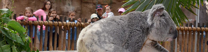 caption:Koala at the ABQ BioPark Zoo