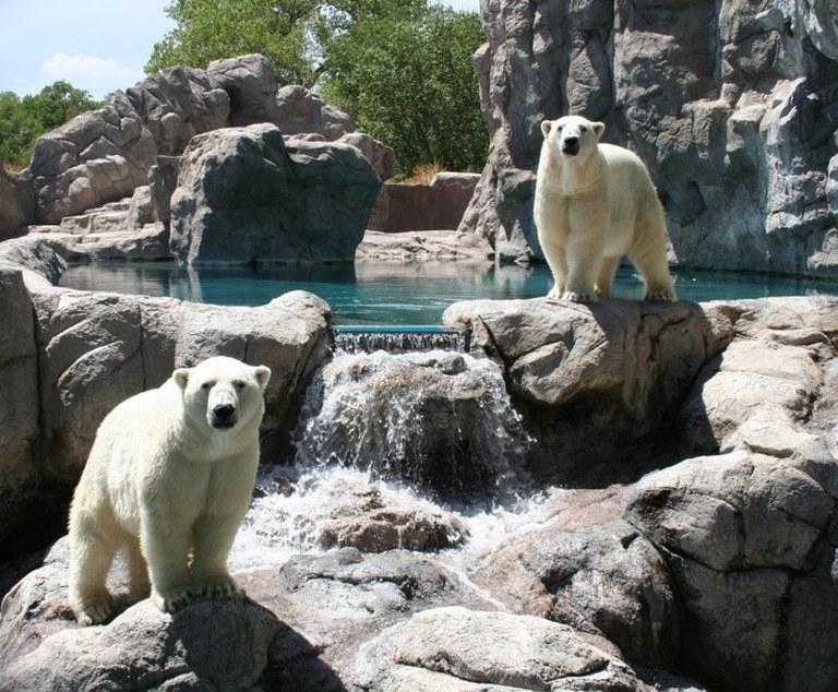 Polar bears together