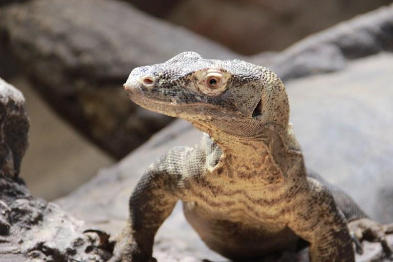 Komodo Dragon BioPark Connect