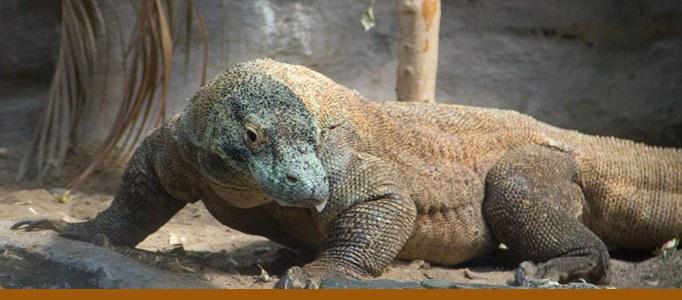 Komodo dragon banner