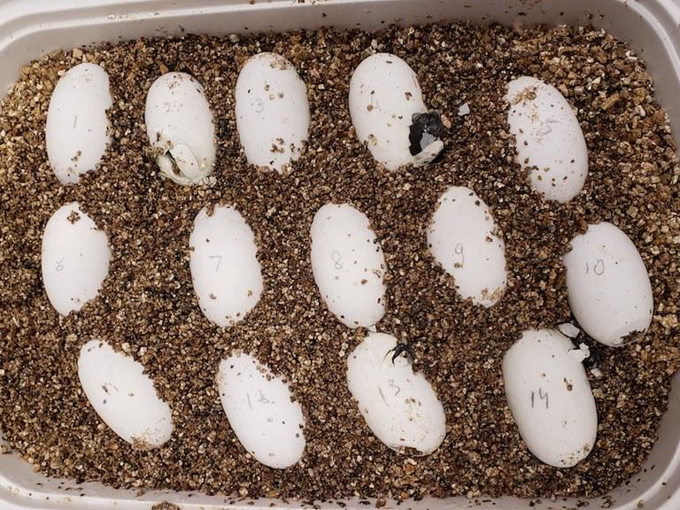 Krefft's Turtle Eggs 2020
