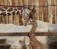 Giraffe June and her son Kumi, square