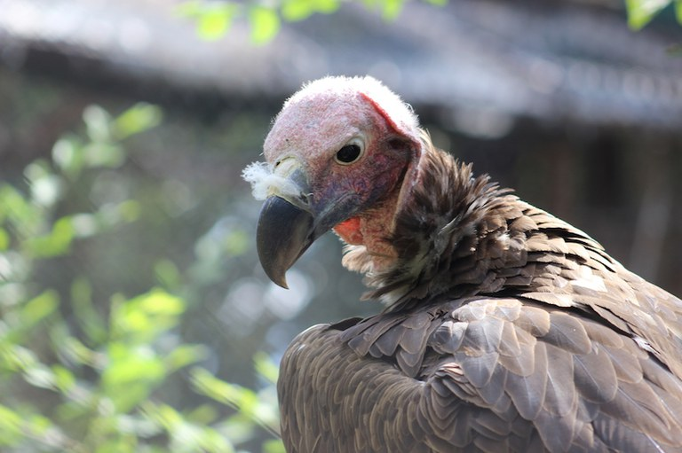 Lappet-faced vulture at the Zoo