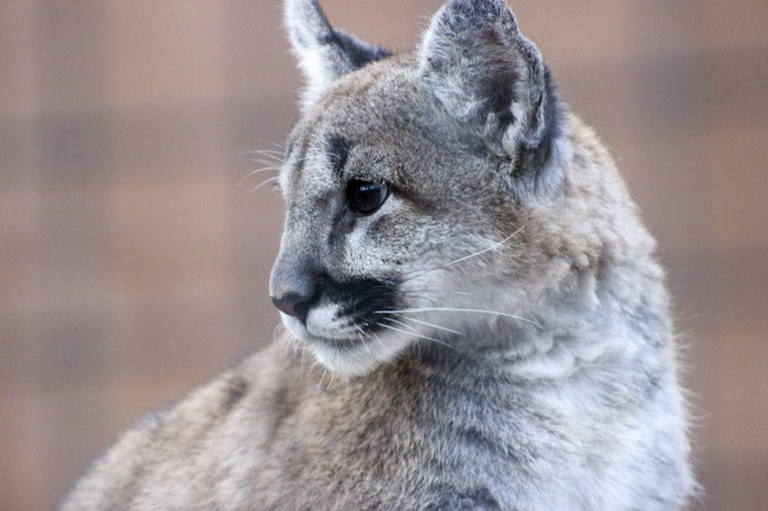 Larabee Mountain Lion 2
