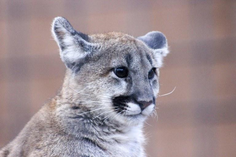 Larabee Mountain Lion 3