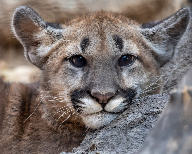 Larabee Mountain Lion as a baby