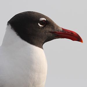 Laughing Gull Headshot