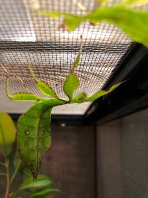 Leaf Bug BioPark Connect