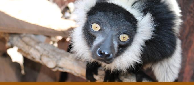 Lemur banner zoo