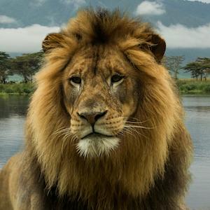 Lion Headshot Animal Yearbook