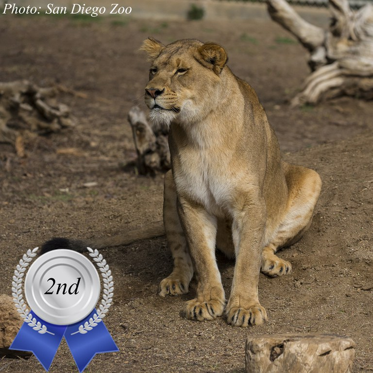 Zoo's Fastest Animal Lion