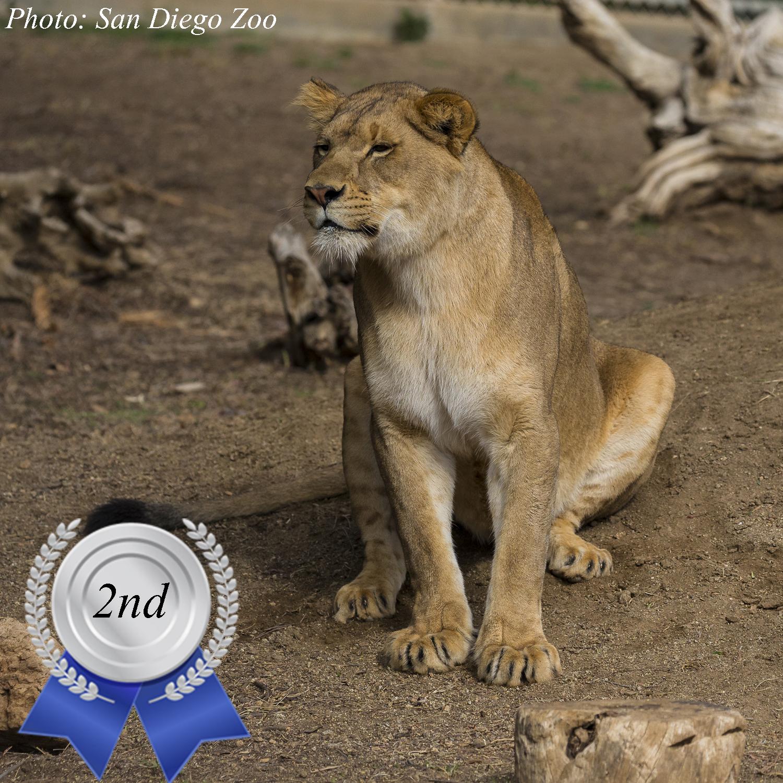 Zoo's Fastest Animal Lion