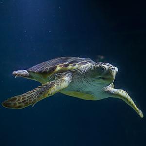 Headshot of Loggerhead Sea Turtle