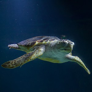 Loggerhead Sea Turtle Headshot Aquarium Yearbook