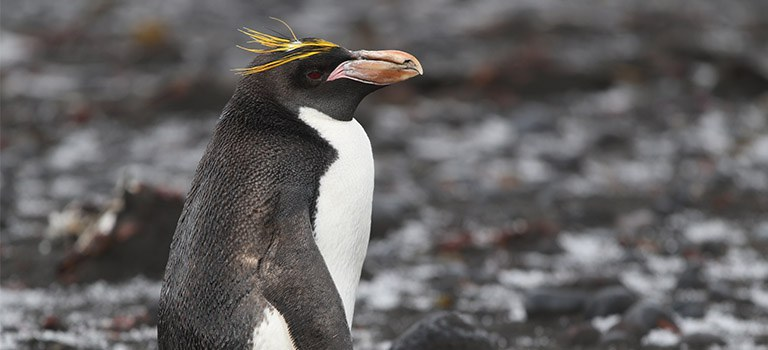 Macaroni Penguin Stock Photo