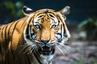 Malayan tiger from Dreamstime