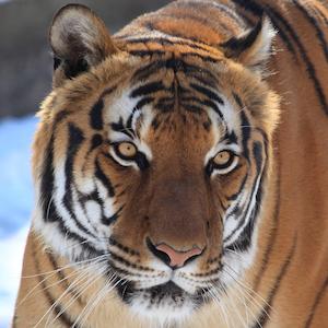 Malayan Tiger Headshot
