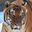Malayan Tiger Headshot Animal Yearbook