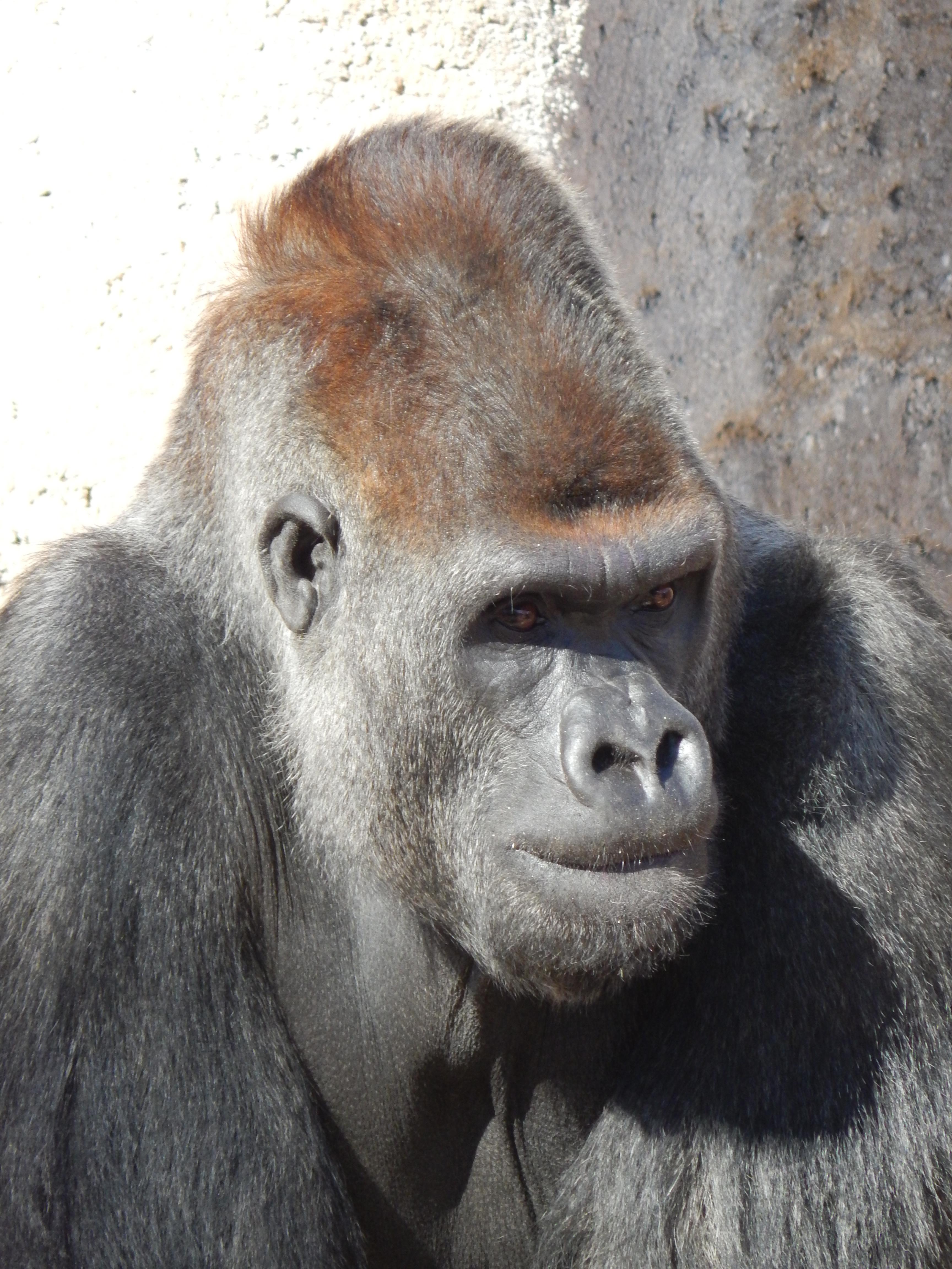 Marcus gorilla