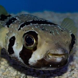 Porcupine Pufferfish Headshot Aquarium Yearbook