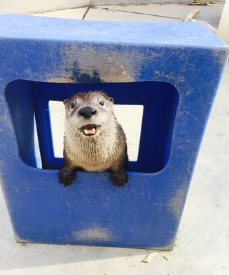 Mayhem the otter peeking out of blue box at the BioPark, 2017.
